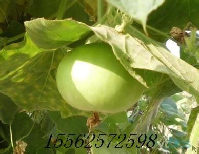 观赏苹果葫芦种子 葫芦工艺品种子