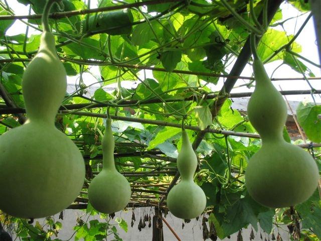 观赏葫芦种子 葫芦种子批发 葫芦种子技术