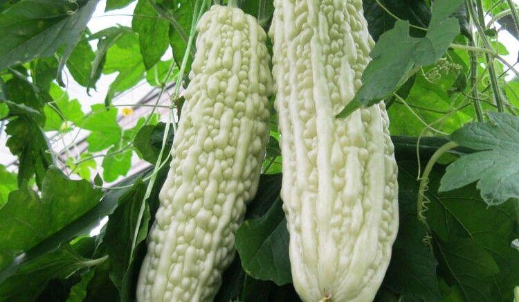白苦瓜种子,白长苦瓜种子,热销白色长苦瓜种子