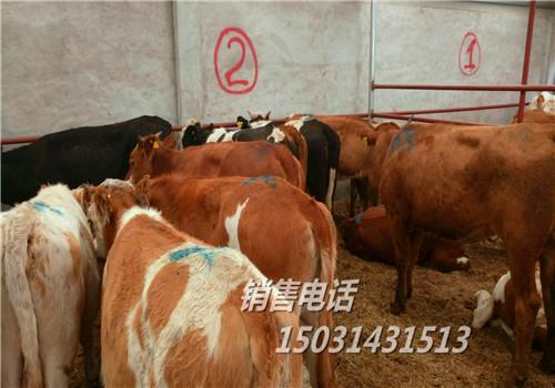 现在牛犊价格,全国肉牛价格行情,活牛市场价格