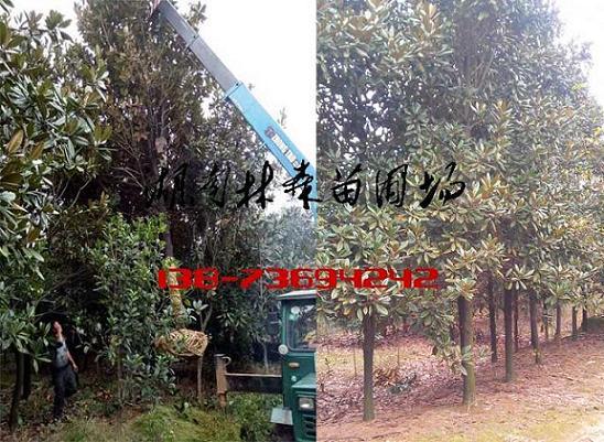 广玉兰,14-15公分广玉兰价格,18-20