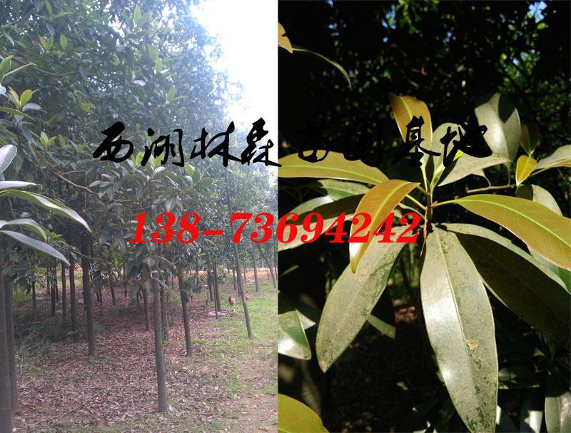 单性木兰价格10公分12公分13公分15