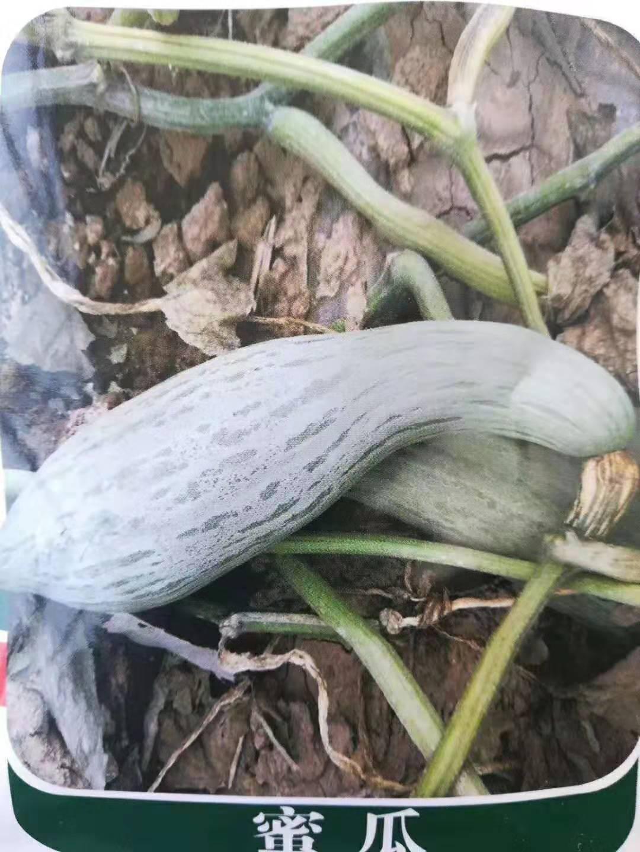 蜜瓜种子(丑瓜)观赏使用南瓜种子
