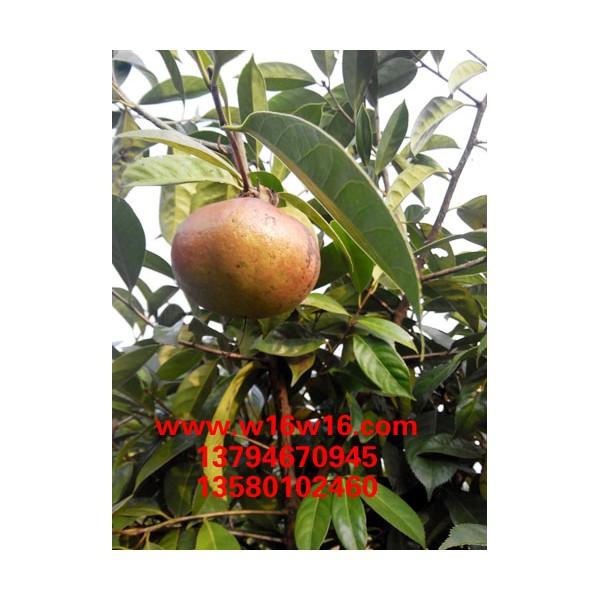 供应大红花油茶种苗