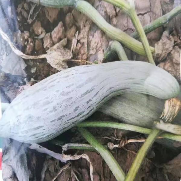 蜜瓜新品种种子 丑瓜新品种正在上市