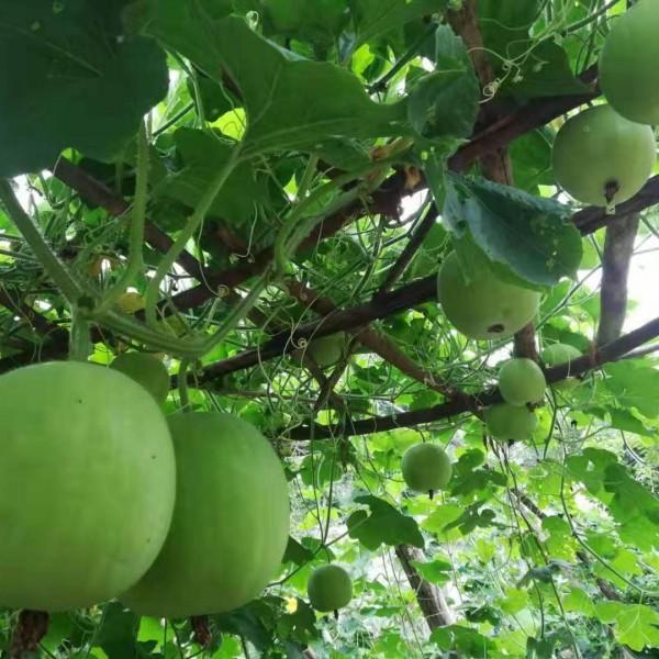 冬瓜种子质量保证 价格优惠 快递发货
