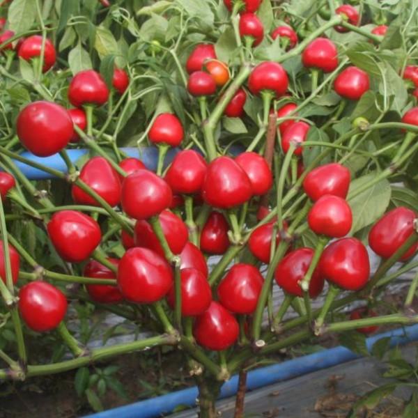 川椒种业|辣椒种子|干小圆椒