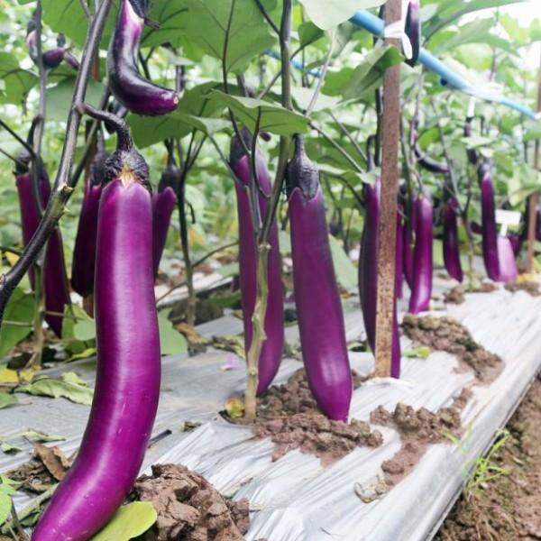 川椒种业 茄子种子 长红茄8号