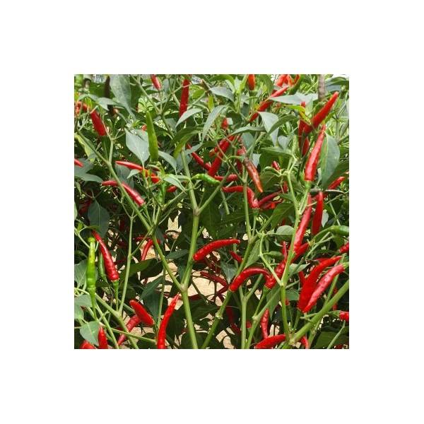 川椒种业|辣椒种子|橘红16号