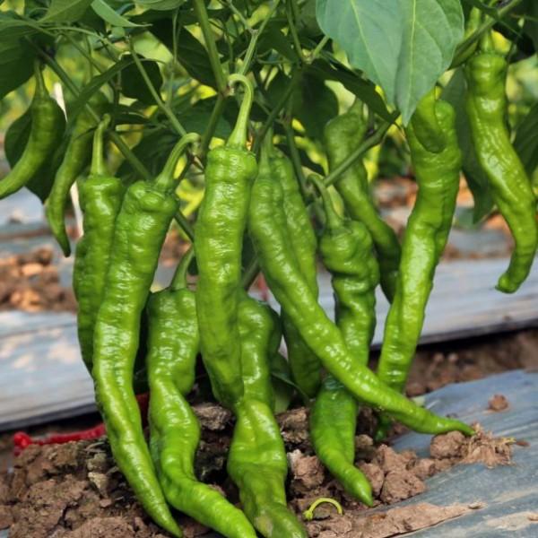 川椒种业|辣椒种子|川椒大脆椒