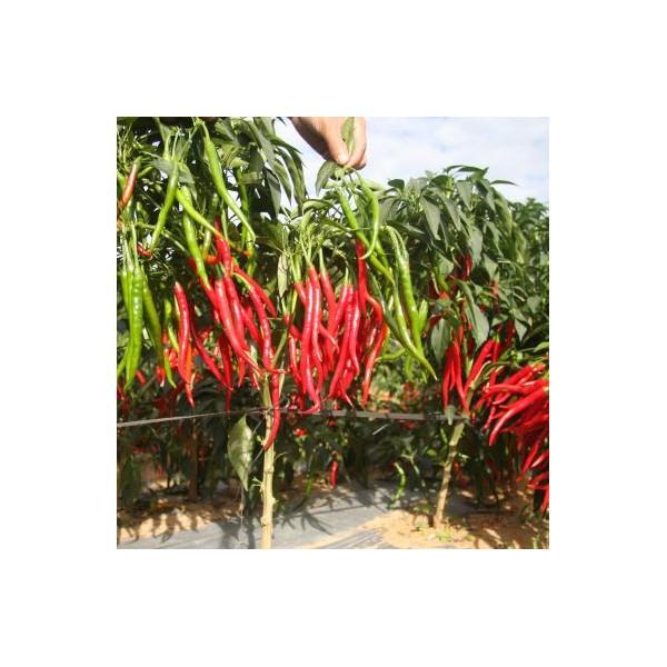 川椒种业|辣椒种子|朝地椒
