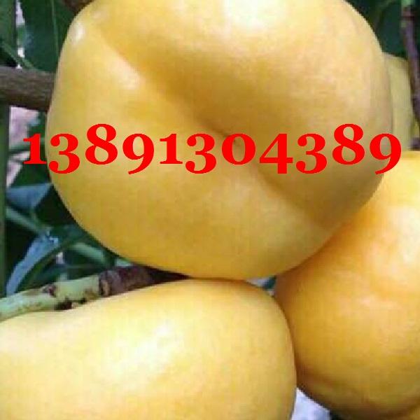 陕西纸袋黄金盘毛桃产地,黄油蟠7-7油桃产地大量上市