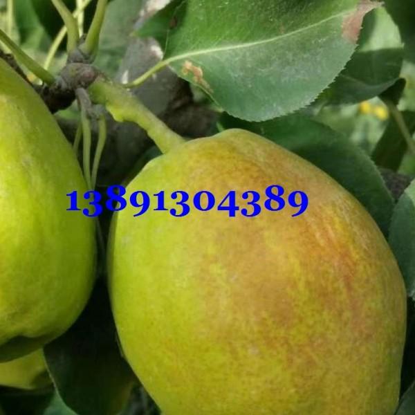 陕西红香酥梨大量订货中,万亩红香酥梨价格产地,红香酥梨基地