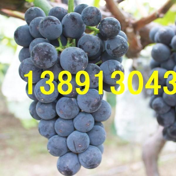 陕西京亚葡萄价格,大荔京亚葡萄产地上市行情