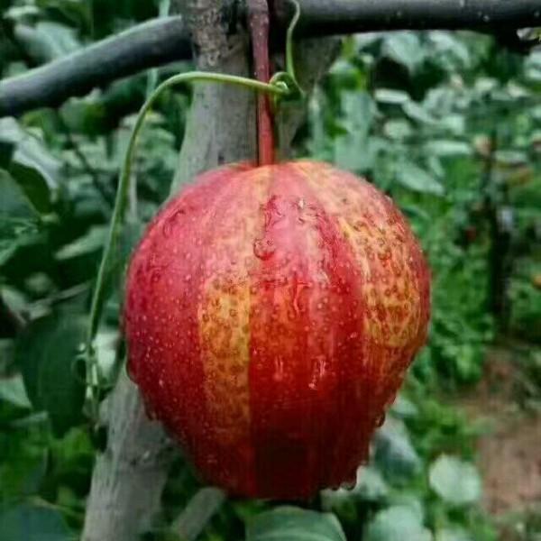 陕西红早酥梨价格,大荔七彩虹梨红早酥梨产地批发价格